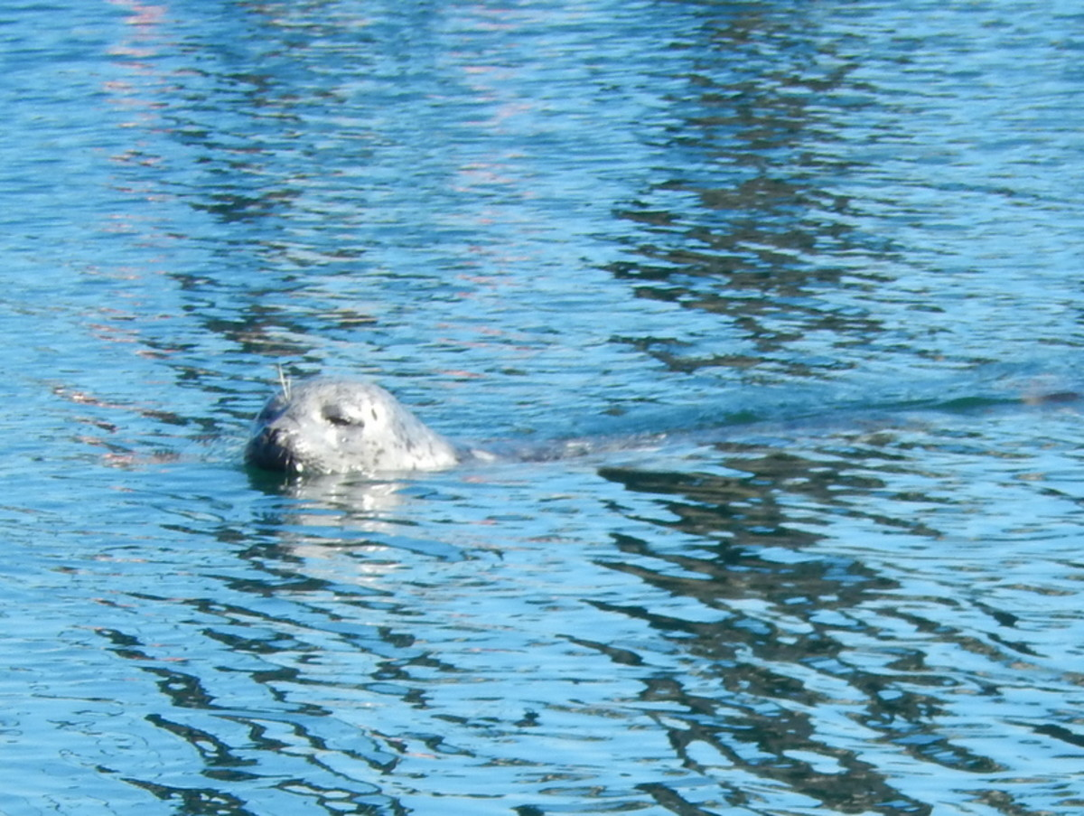 Popeye, the one-eyed harbor seal is the long-time mascot of Friday Harbor Marina.