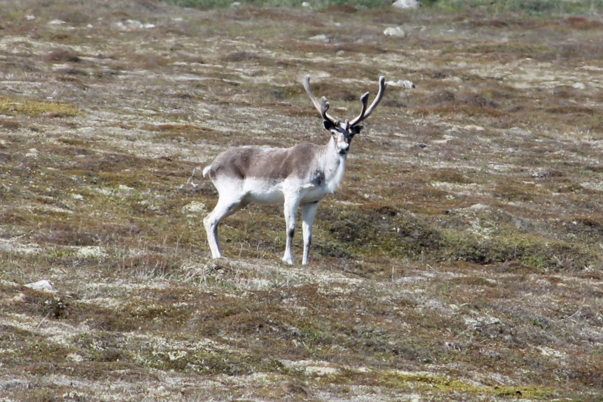 Caribou along side the Mistaken Point trail.