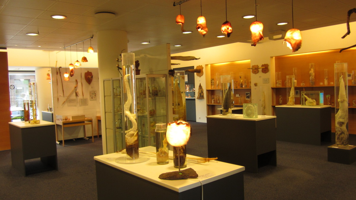 The brightly lit interior of the phallological museum showcasing a number of items.