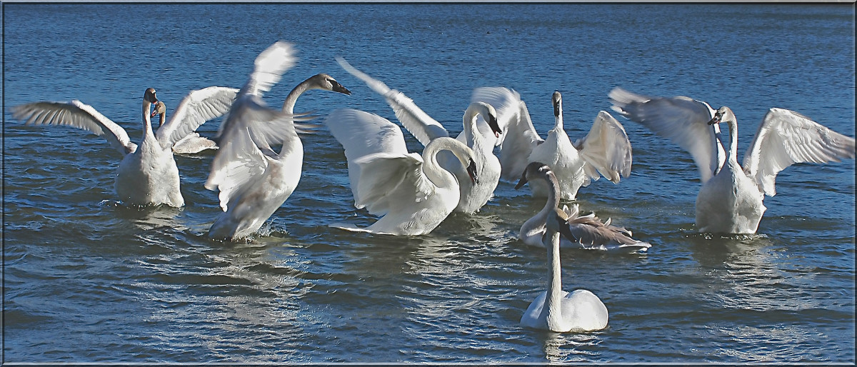 Trumpeter swans enjoying their winter home near Heber Springs, Arkansas.
