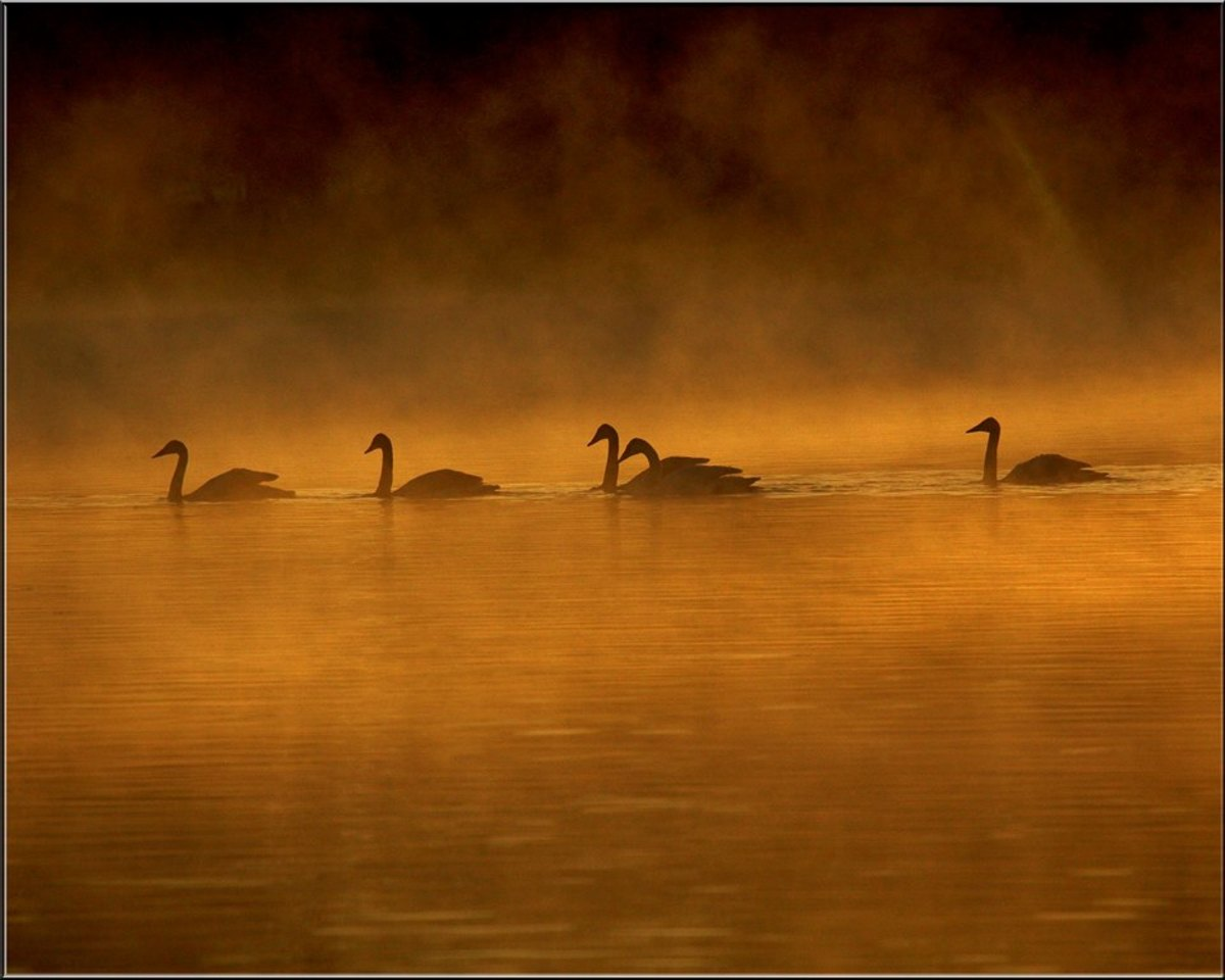 A family of trumpeter swans in the fog on Lake Magness in Arkansas.