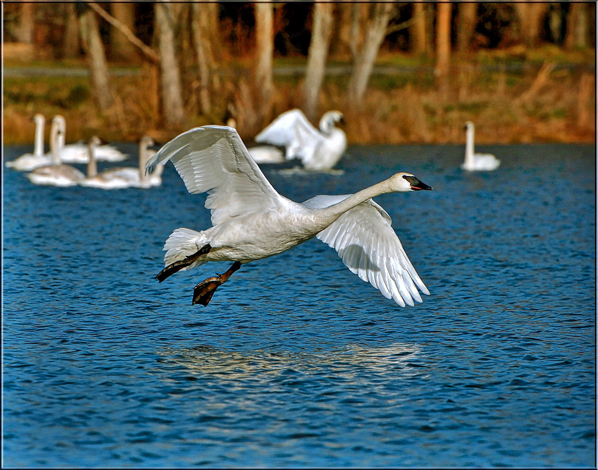 Trumpeter swans - hanging out with friends.  When these swans are adults, their feet, bill, and tarsals are black, but their feathers are completely white.