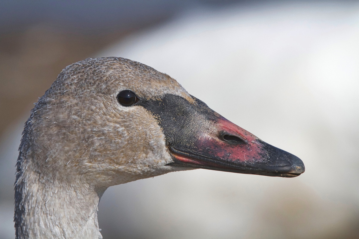 Close-up of the face of a cygnet (young) trumpeter swan (the bill has some pink on it, but with a black base).