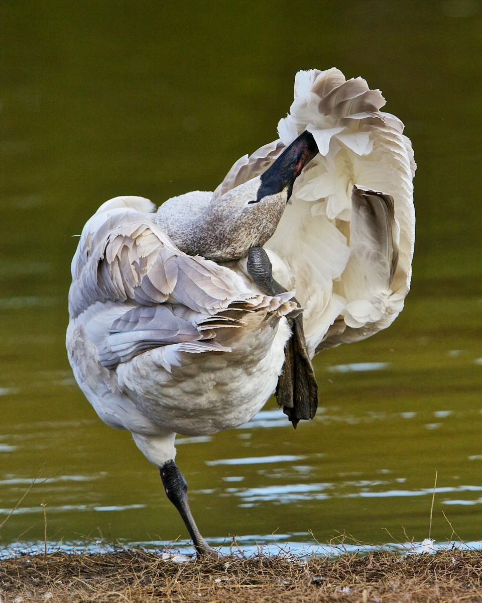 What amazing and graceful creatures Trumpeter swans are.