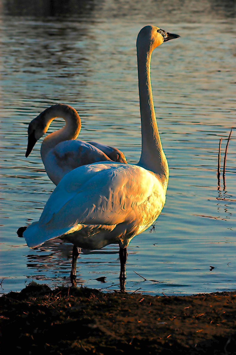Trumpeter swans - nearing the end of the day.  A very small percentage of trumpeter swans can have a greyish tint to their feathers instead of pure white.