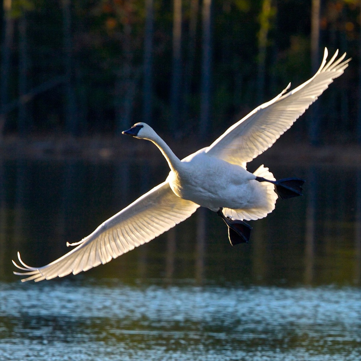 Trumpeter swan coming in for a landing.