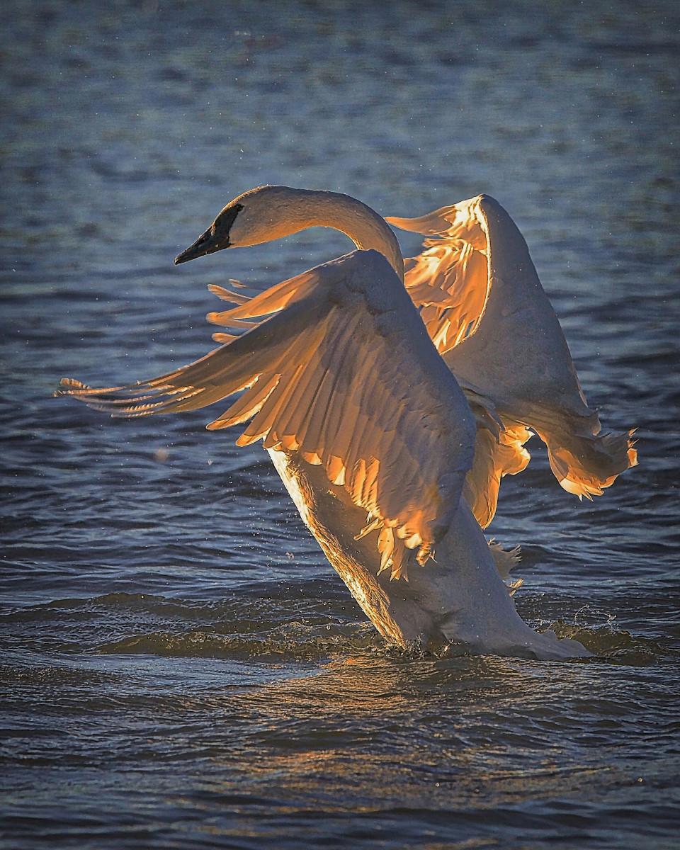 Trumpeter swan upon landing.