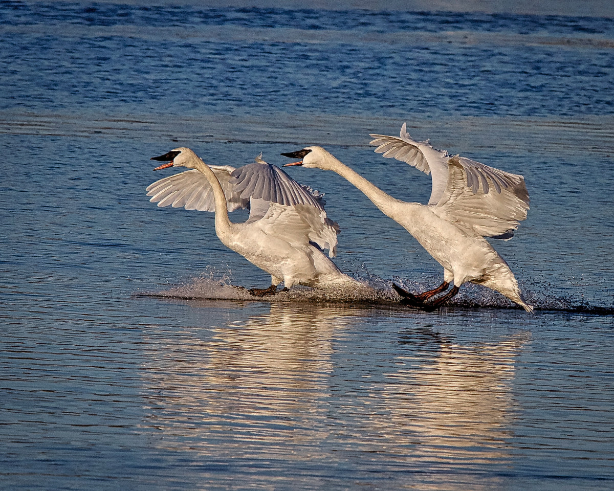 Trumpeter swans - the landing.