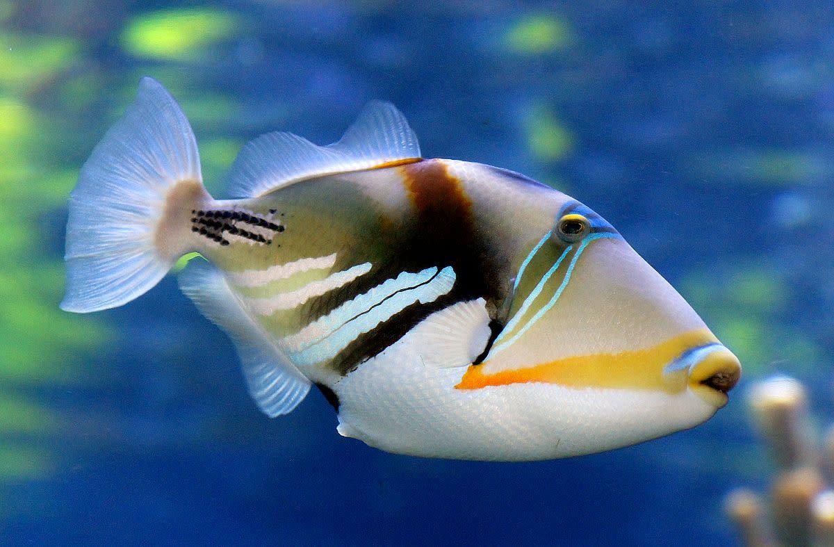At Hanauma Bay, you can see the state fish of Hawaii – the triggerfish, also known by its Hawaiian name, humuhumunukunukuapuaa.