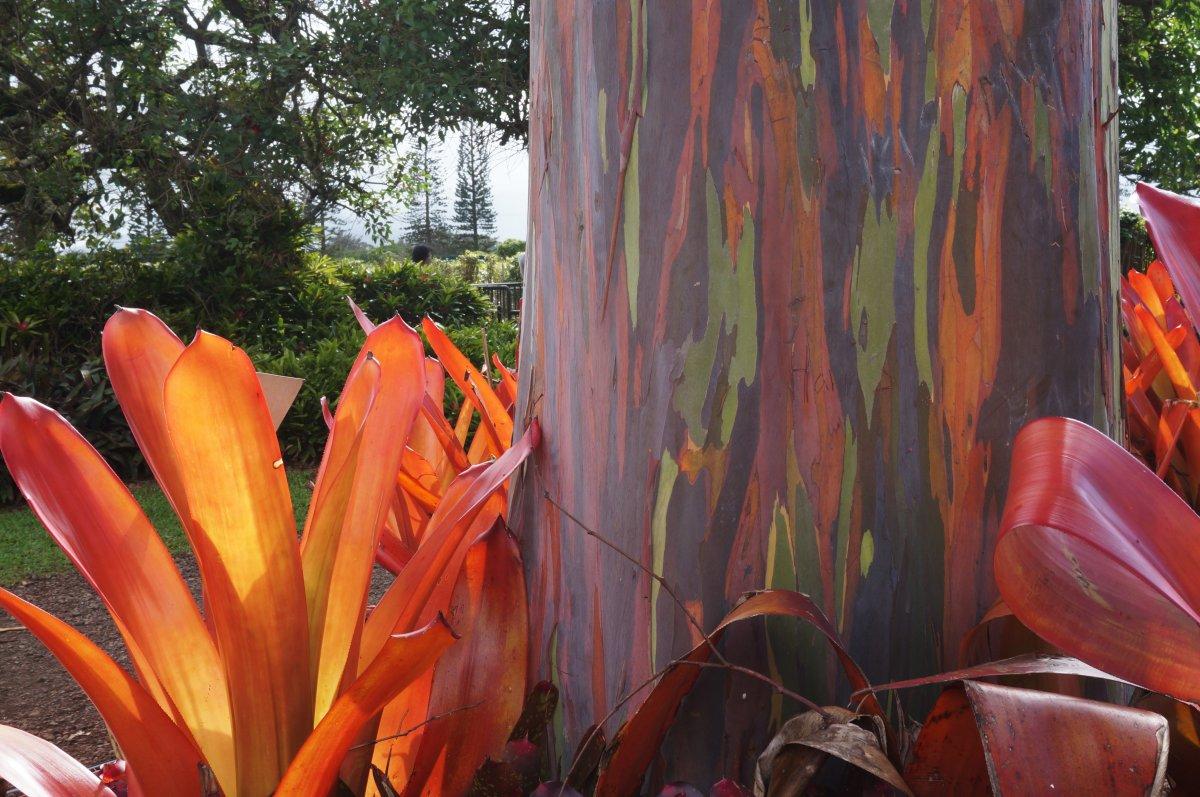 The amazing colors of the Rainbow Eucalyptus tree.