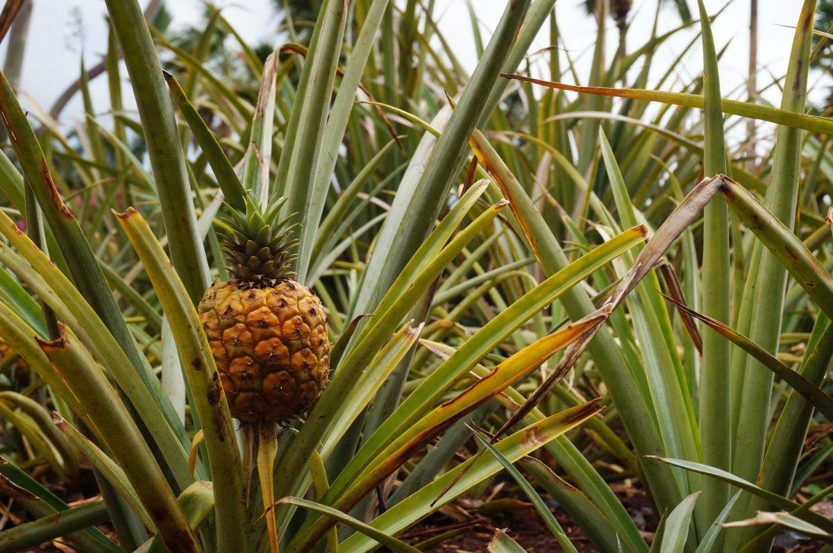Pineapple plants, Dole Plantation