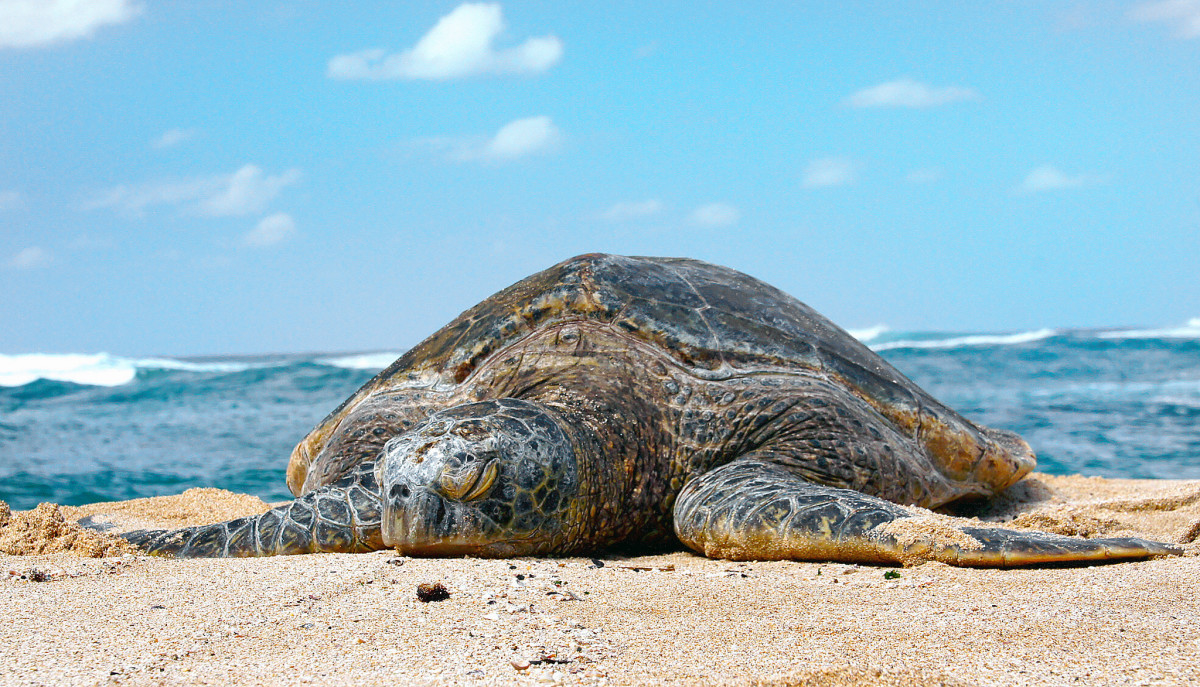 A turtle on Turtle Beach.