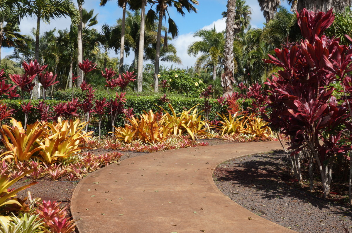 A colorful display of red Ti Leaf plants, decorative pineapple plants, and hibiscus in Dole plantation garden.
