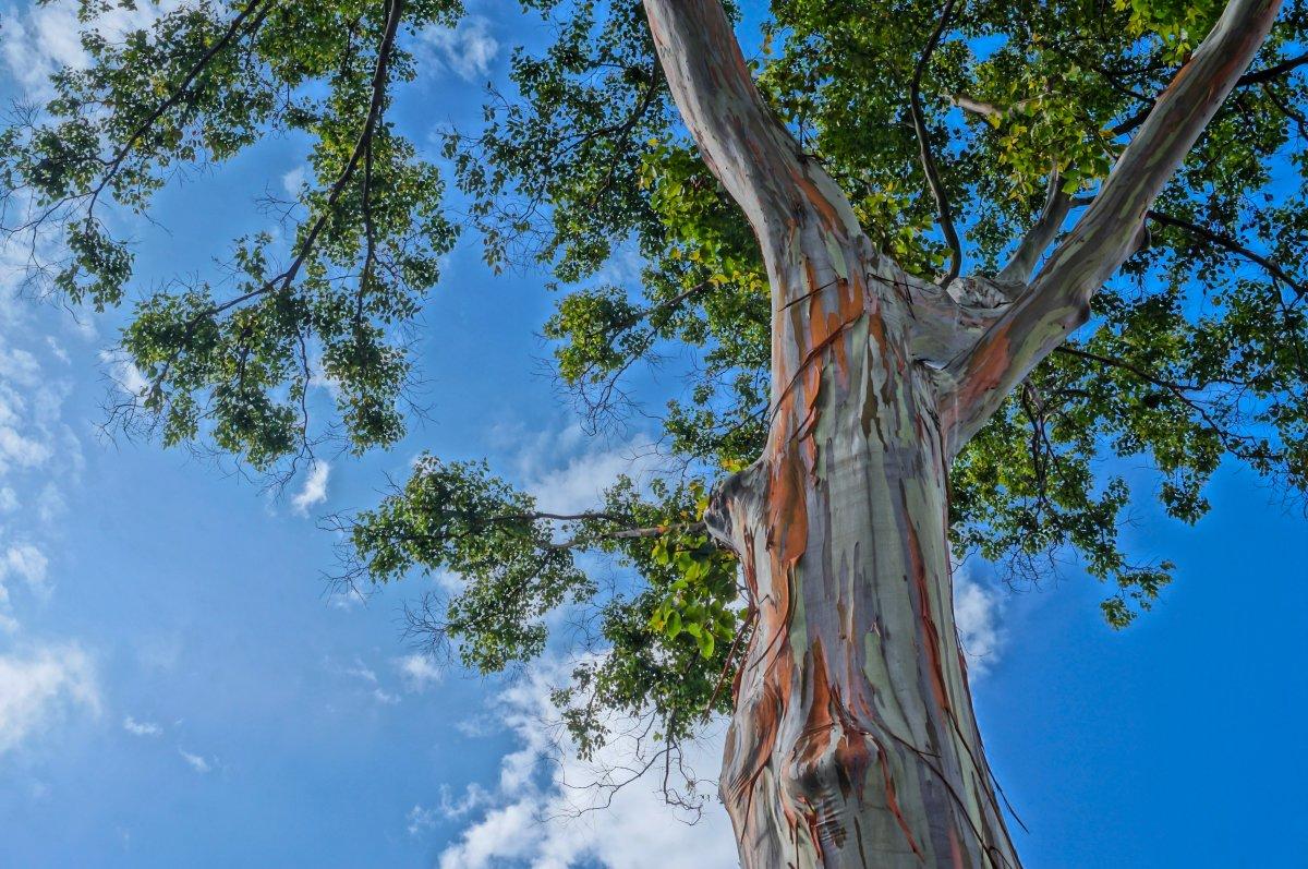 Rainbow Eucalyptus tree at Dole Plantation.
