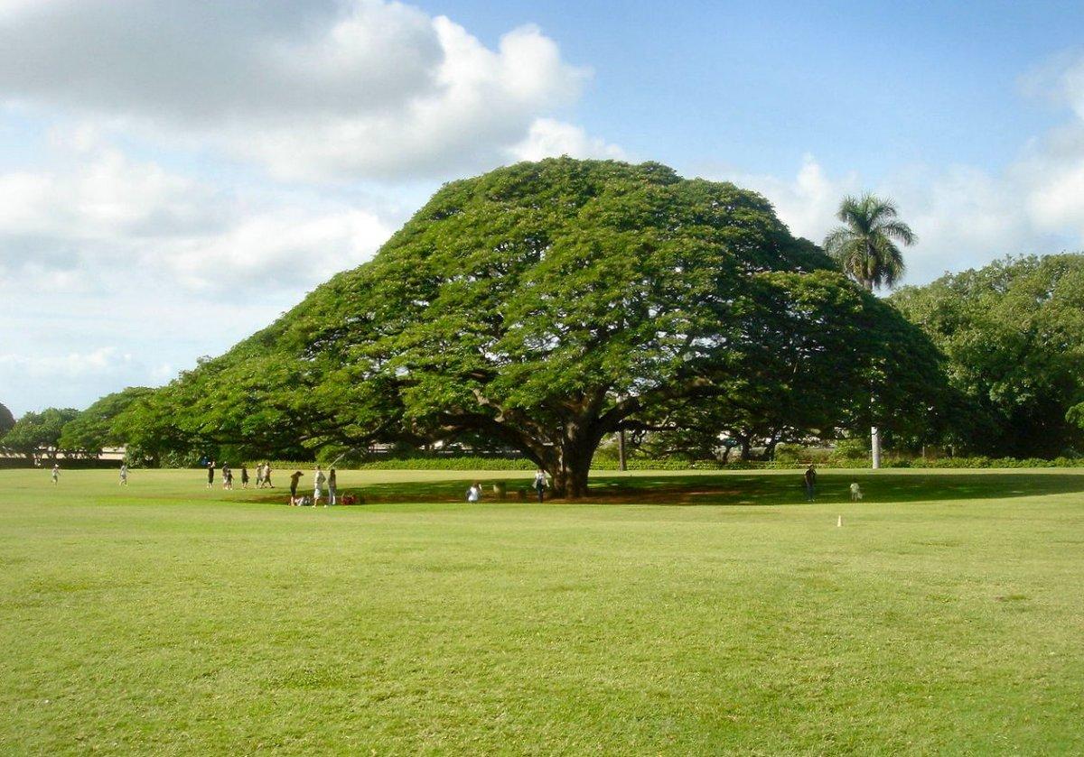 Hitachi's tree in Moanalua Garden