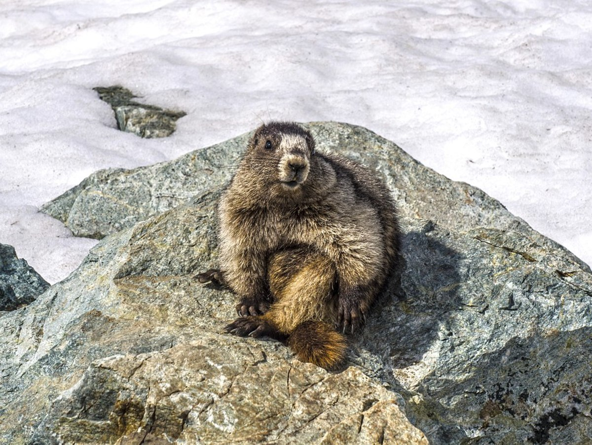A hoary marmot posing at Whistler Blackcomb