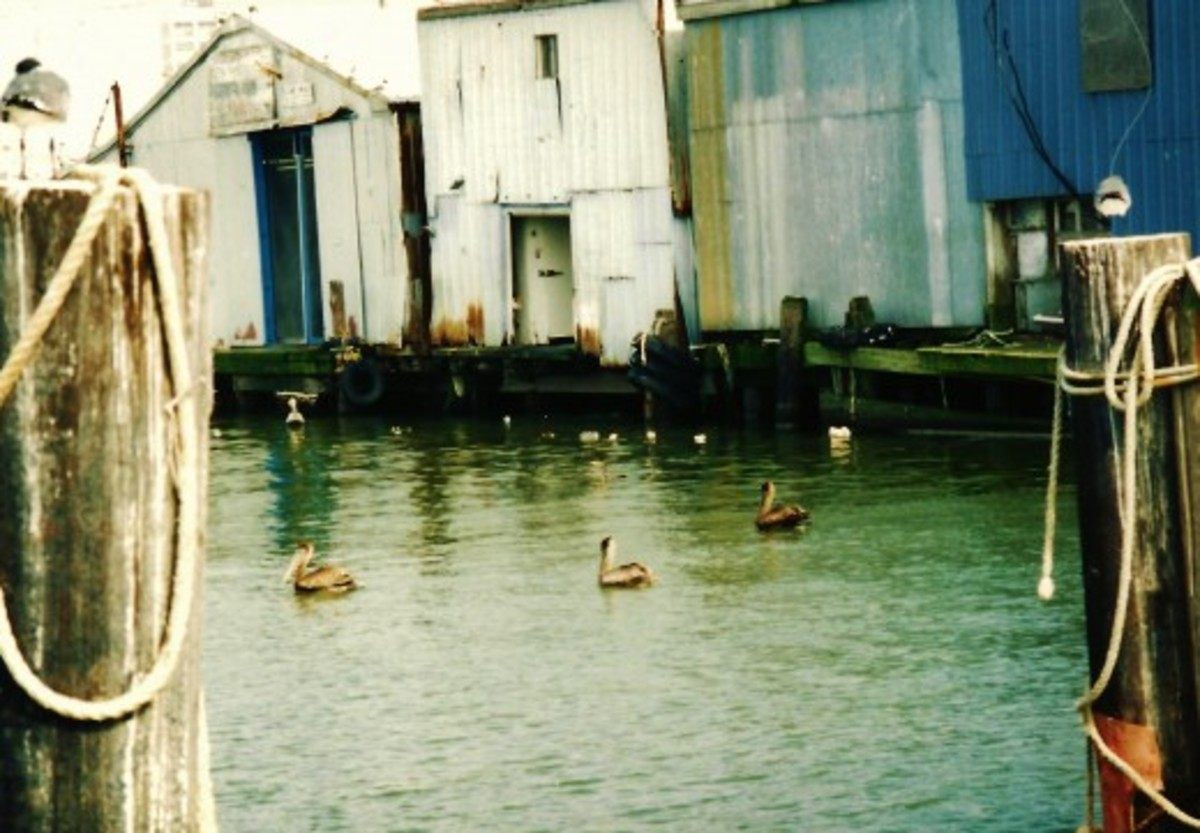 Pelicans in Galveston Waters