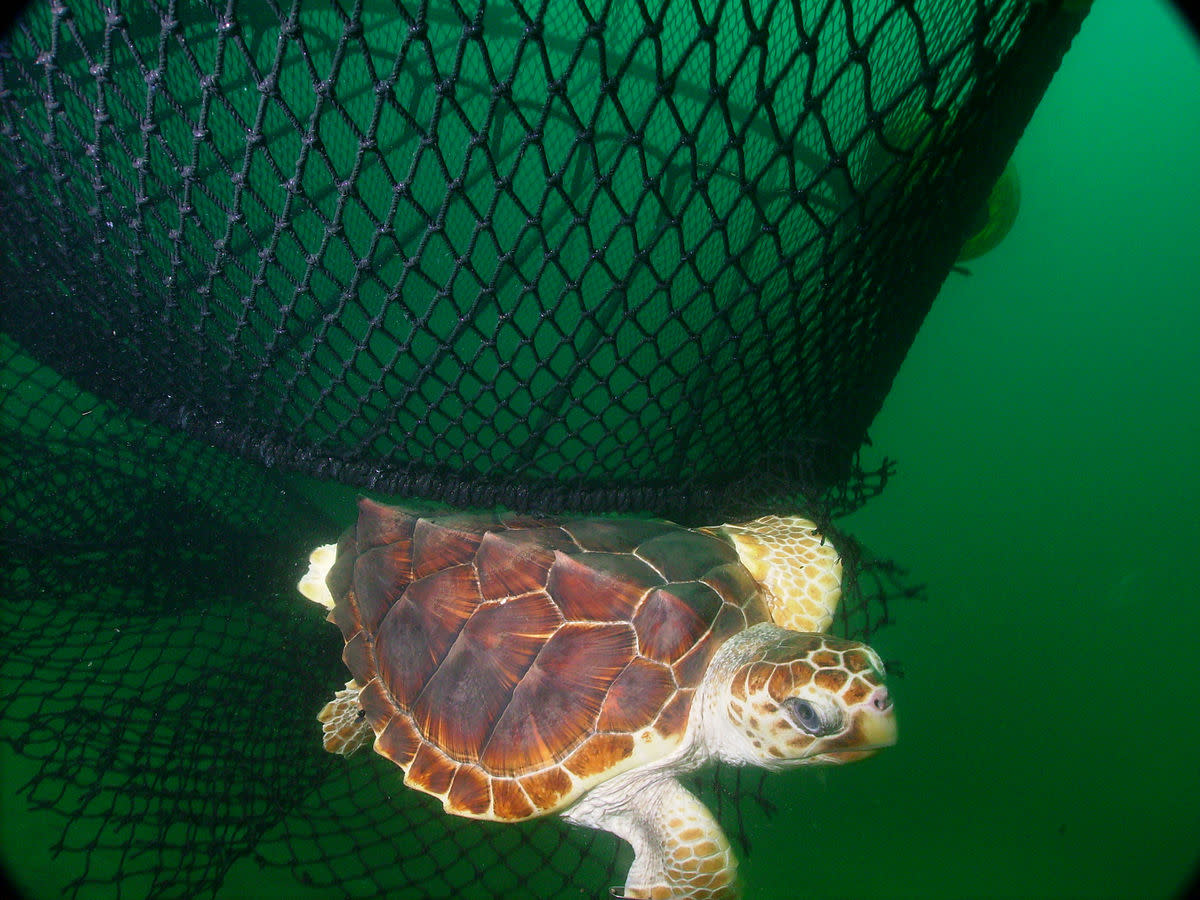 Loggerhead Turtle (Caretta carreta) escaping a net equipped with a turtle excluder device (TED).