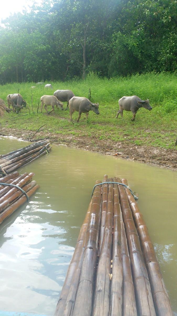 Huai Krating Reservoir water buffalo