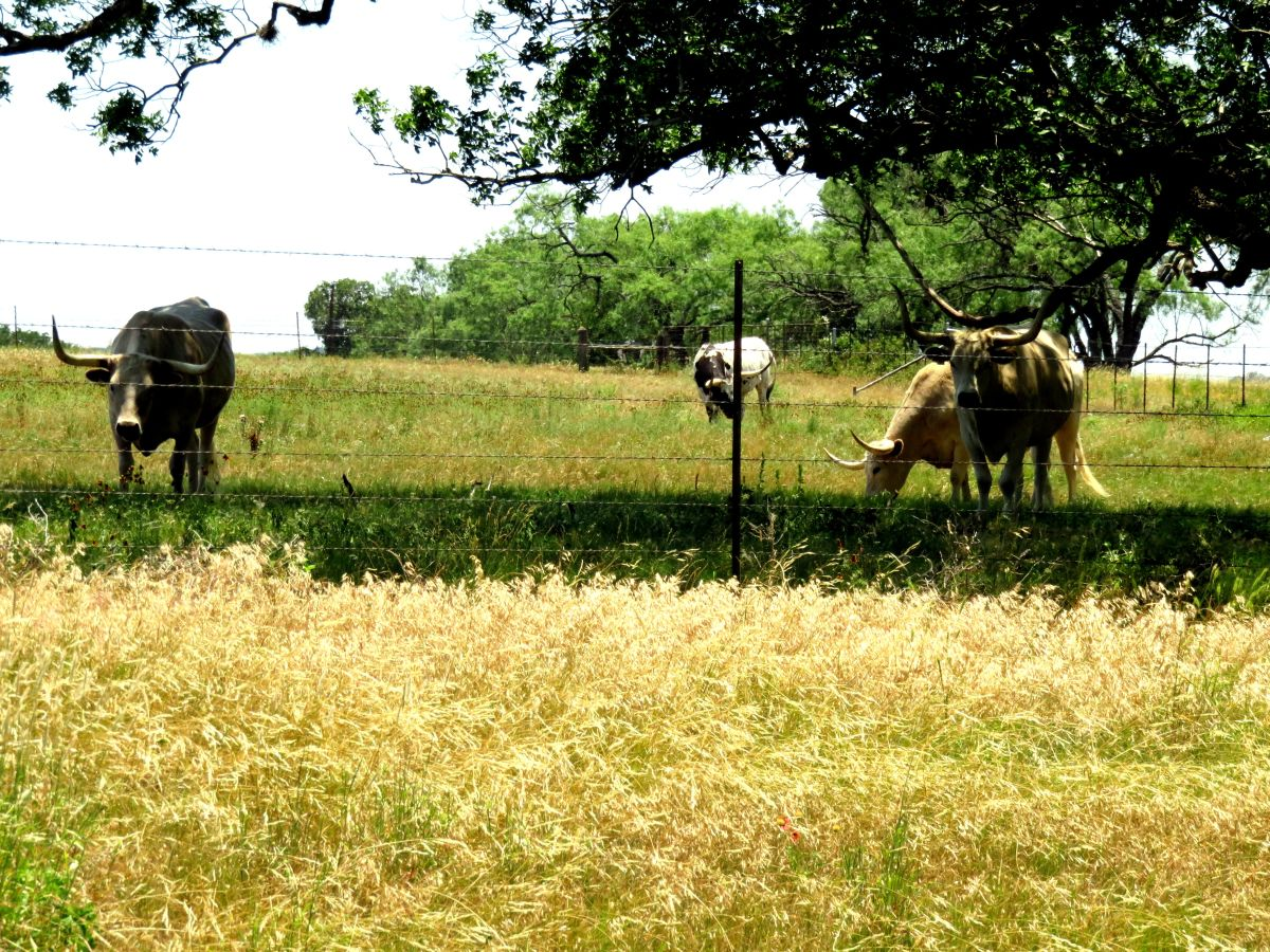 The Longhorns Were Hugging the Shade