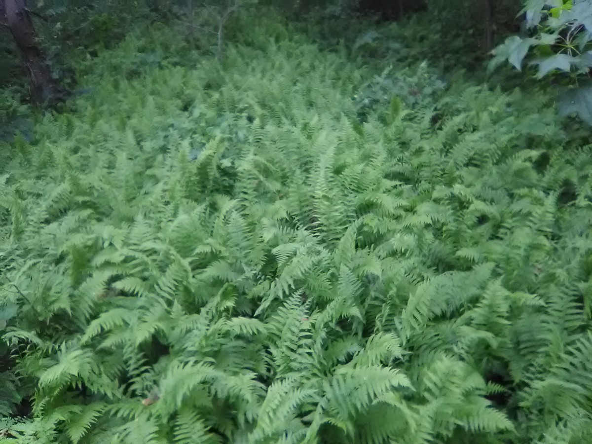 Wonderful assortment of ferns in Bay Front Park.