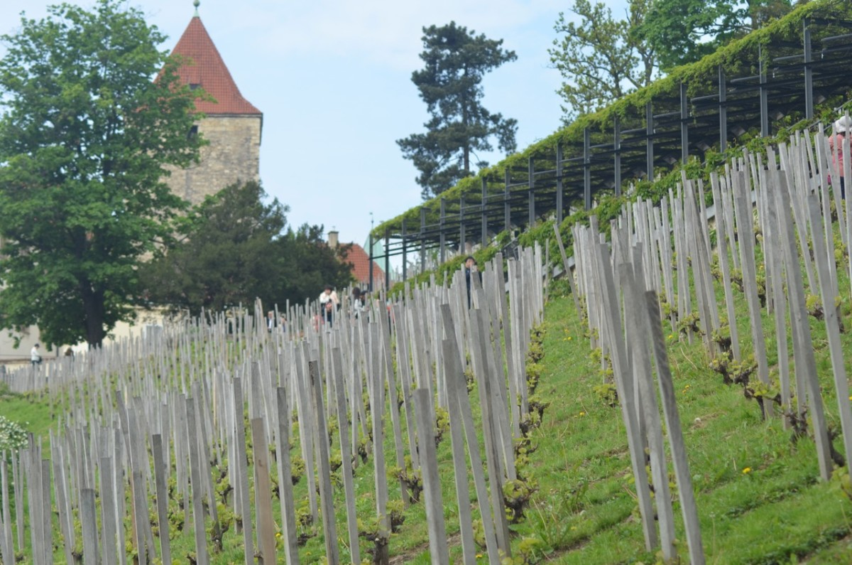 St Wenceslas vineyard below Prague Castle (c) A. Harrison