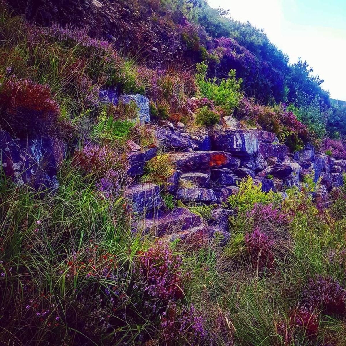 Purple heather grows in abundance along the cliffs of Ireland.