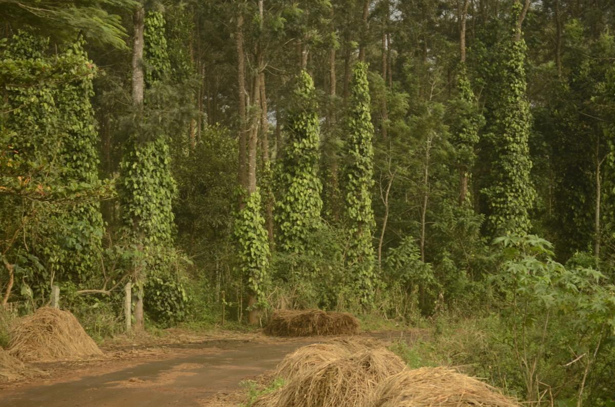 Pepper plantations in Kolli Hills