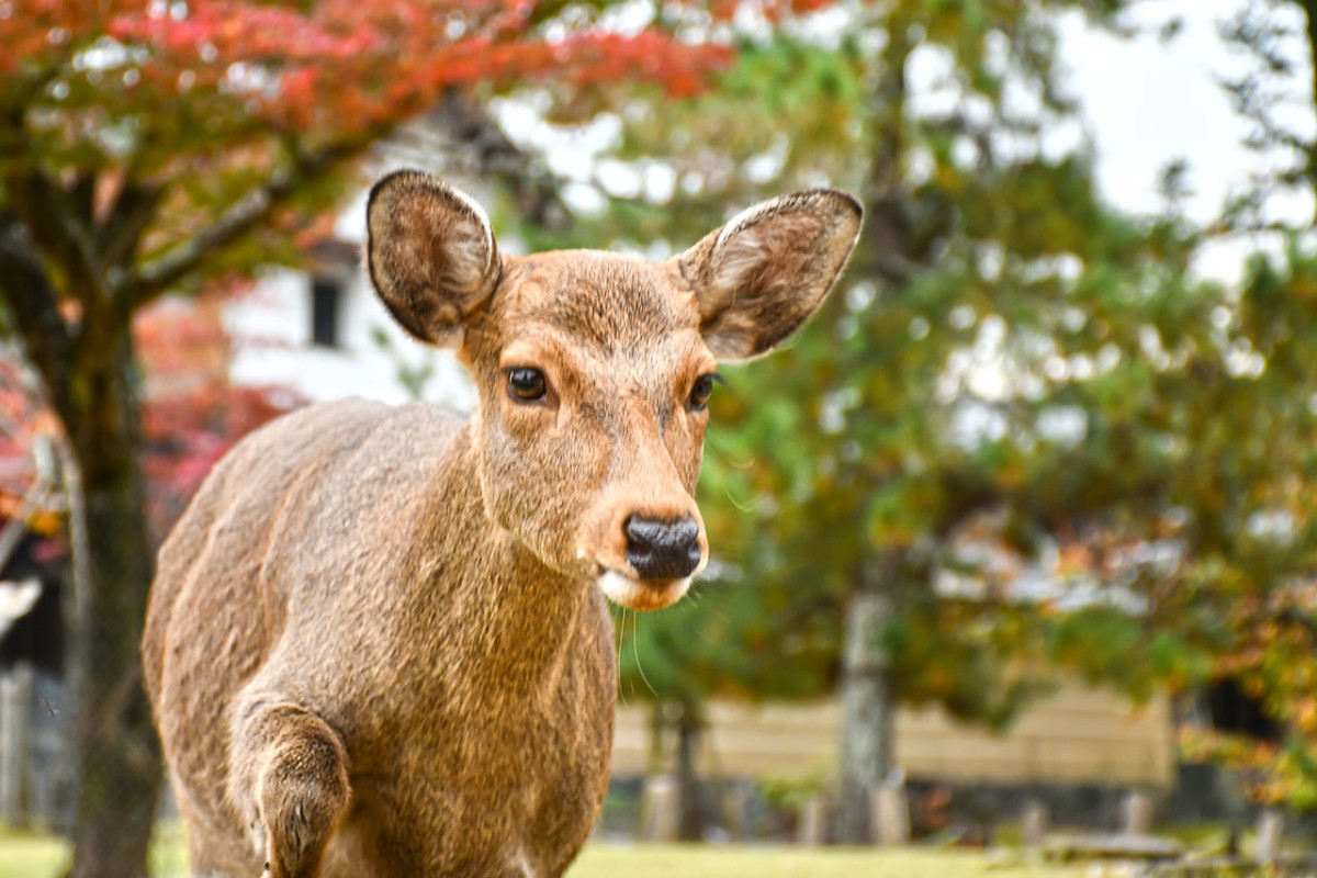 As bossy as they are, the deer of Nara Park would surely steal your heart.