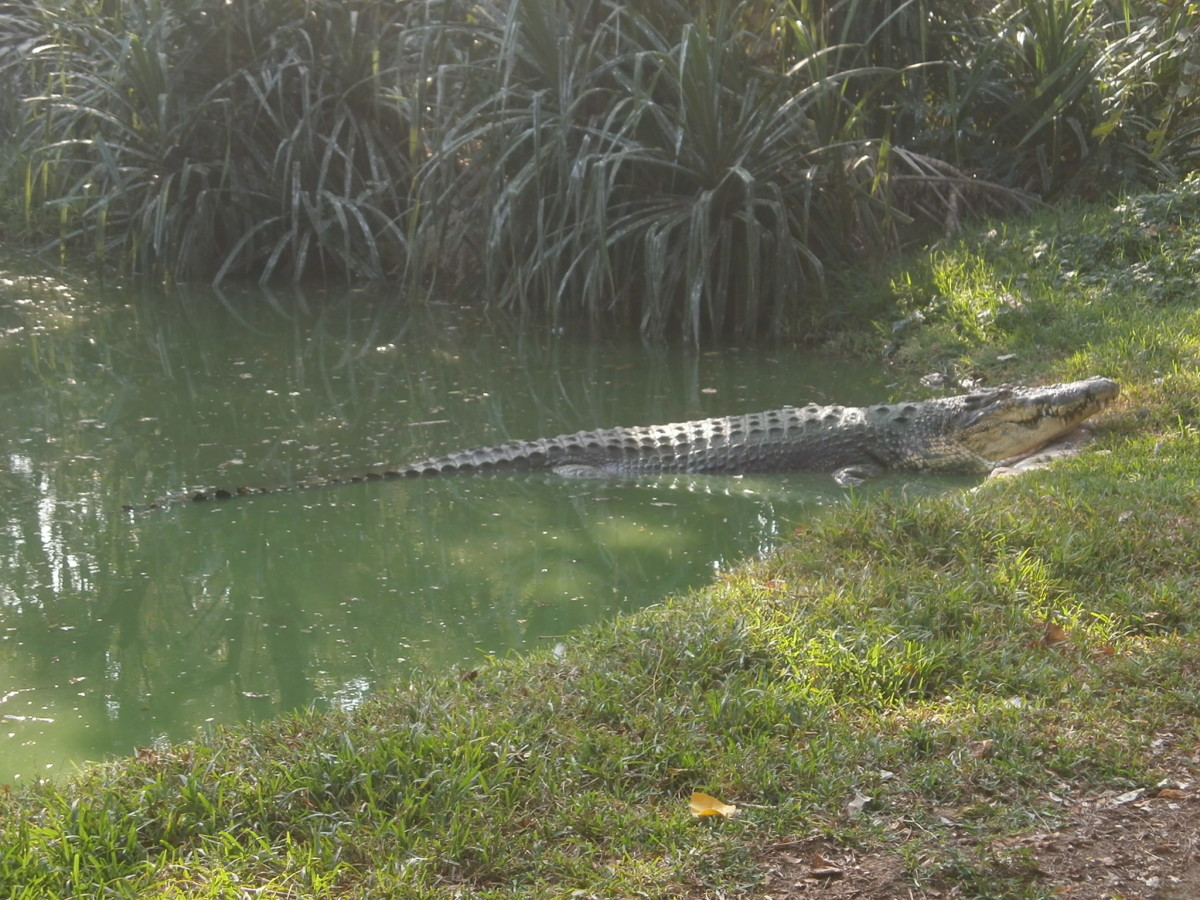 A crocodile basking in the sun at the Crocodile Bank