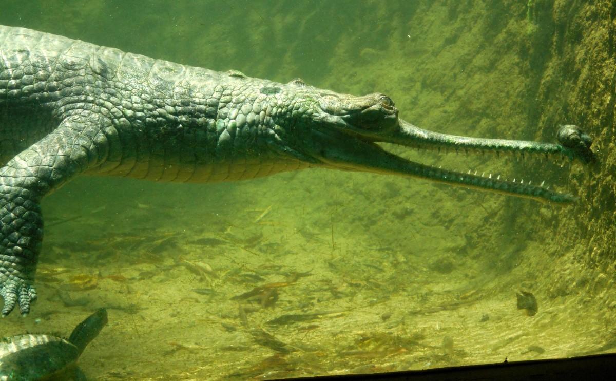 Underwater Exhibit of Gharial