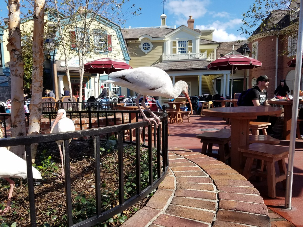 The wild birds at Magic Kingdom help to clean up after guests.