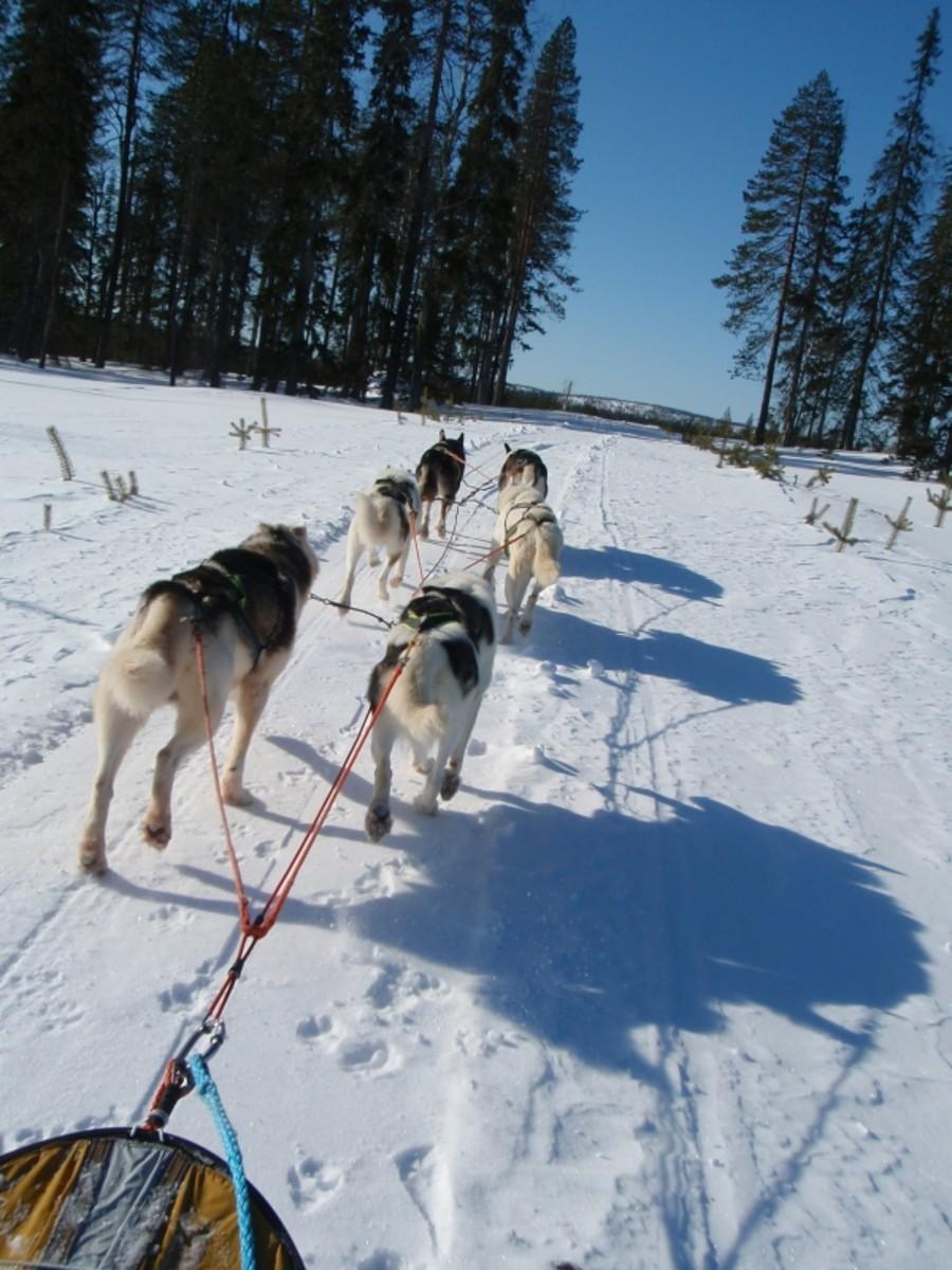 Dashing through the snow (on a six dog open sleigh!).