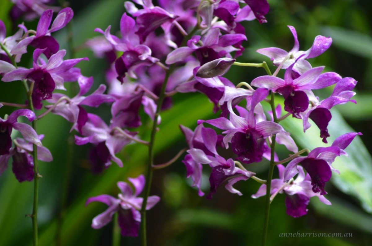 The orchids of Singapore (c) A. Harrison