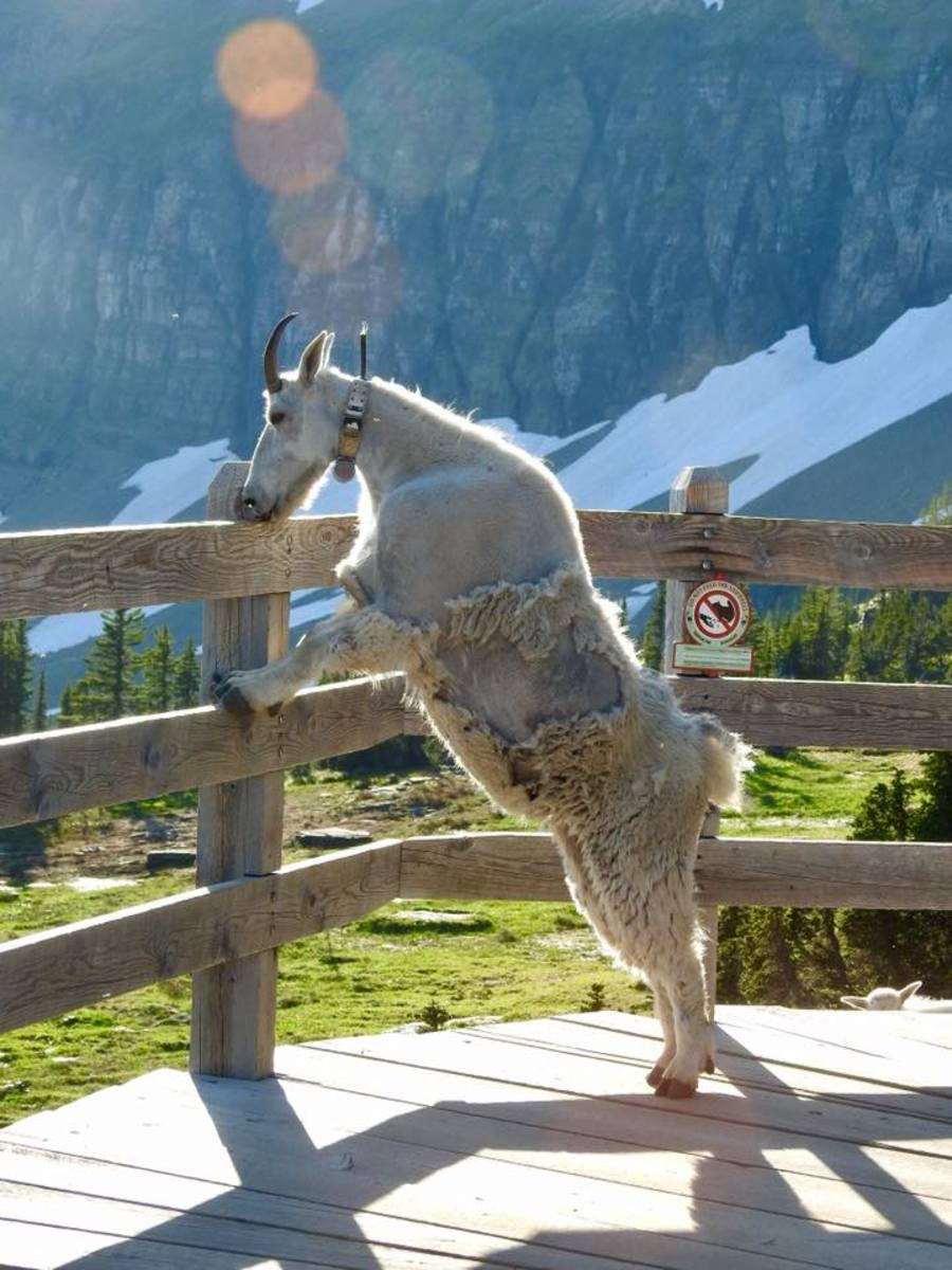 Mountain Goat licking the hand rail at the Hidden Lake Overlook @ Glacier National Park