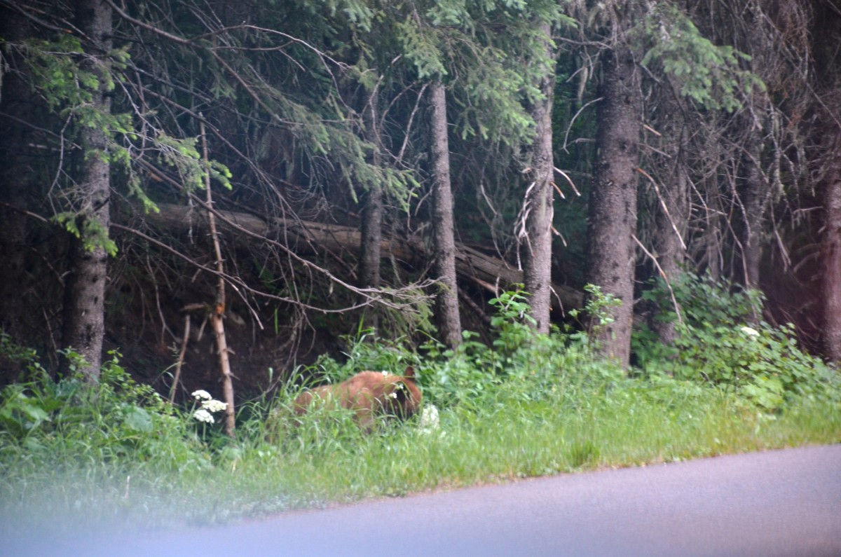 We saw this bear eating flowers on our way to Lake McDonald @ Glacier National Park
