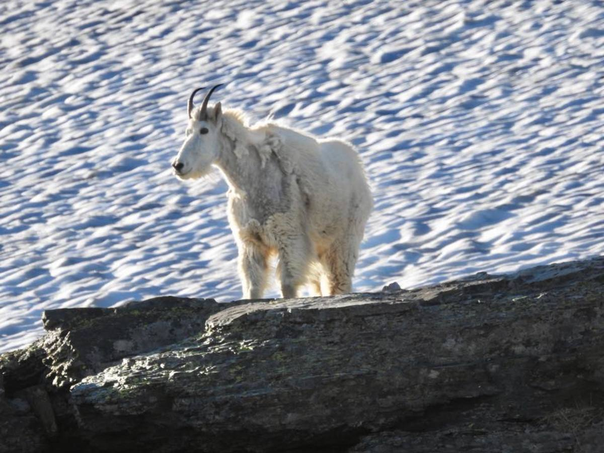 Mountain Goat off the Hidden Lake Trail @ Glacier National Park