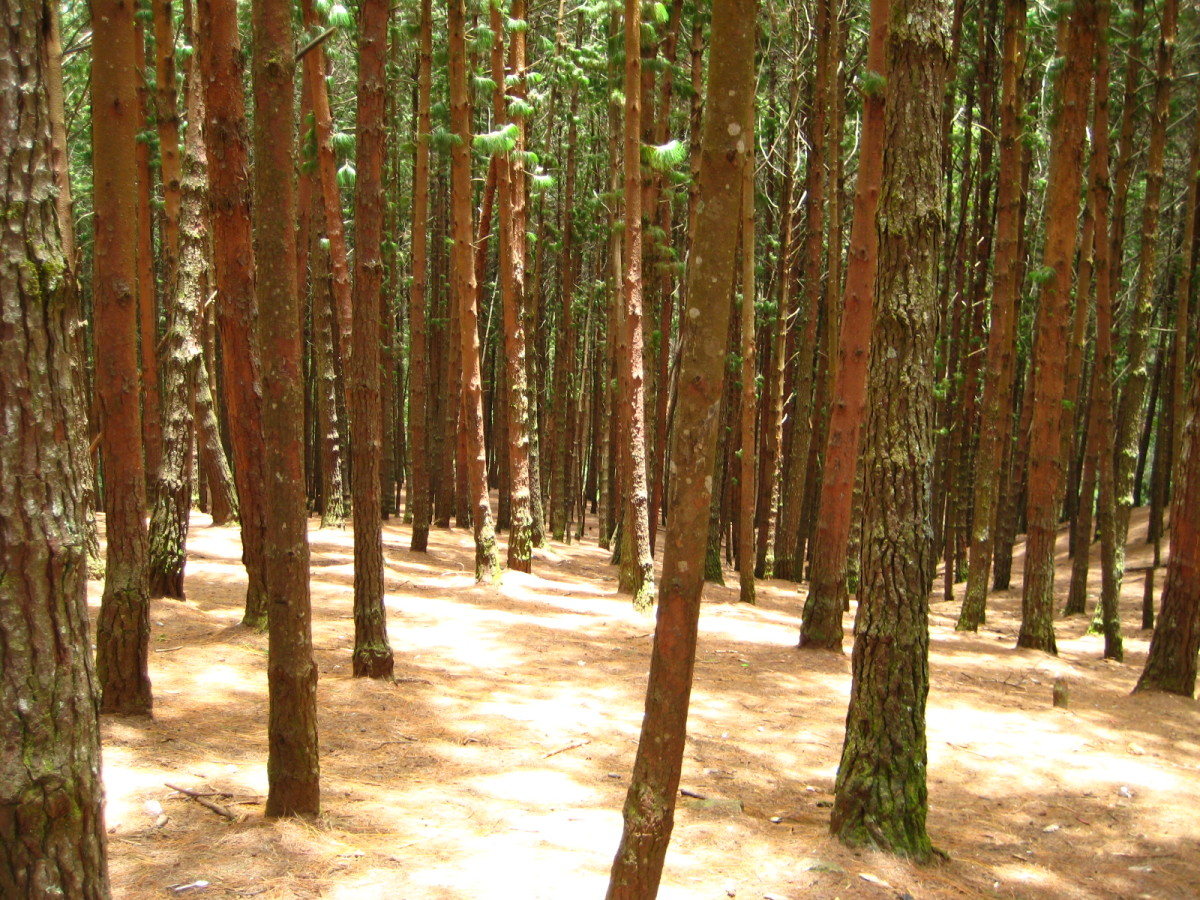 The scenic pine forest