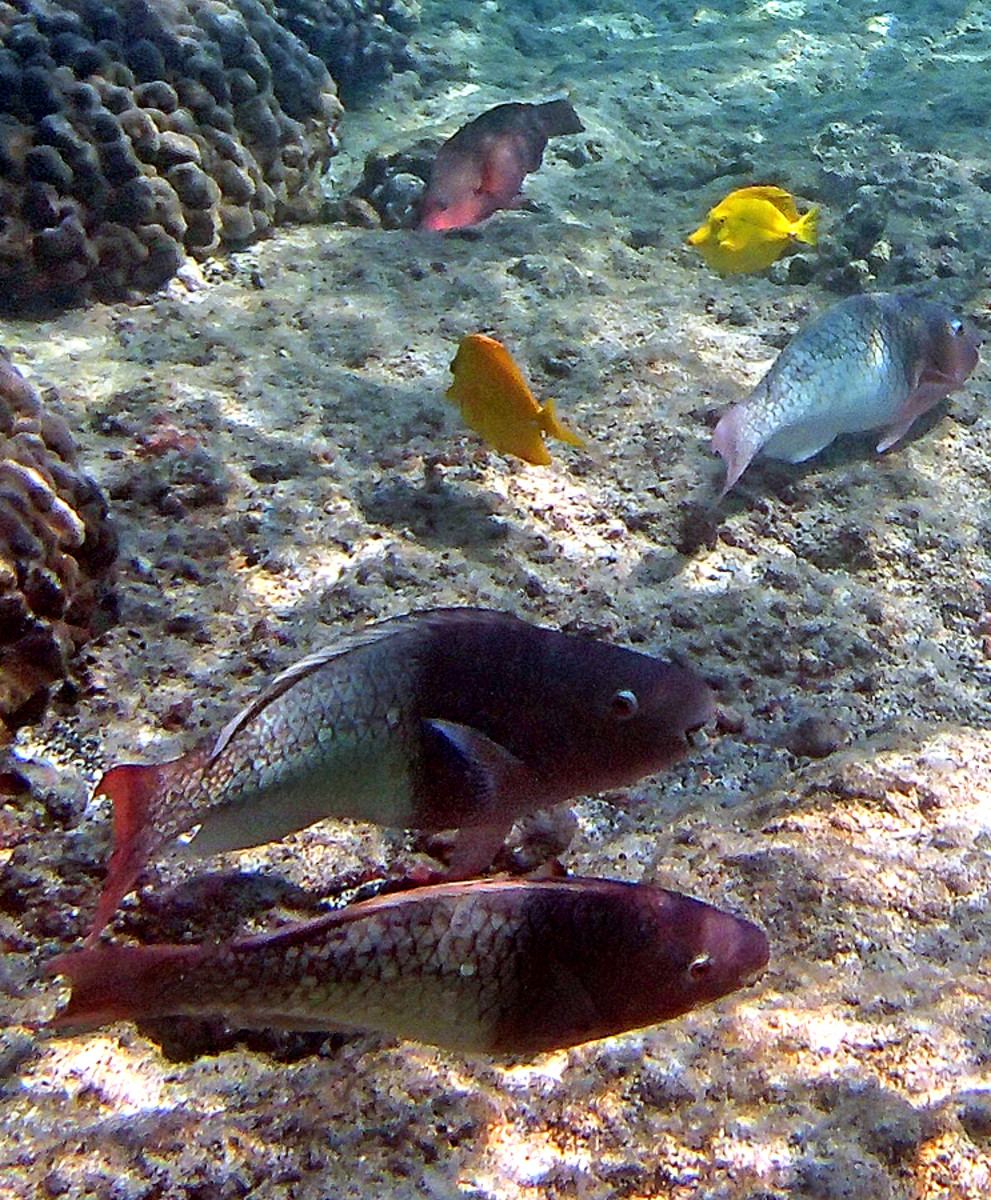 Redlip Parrotfishes are brownish red when young, they become brilliant green as adults.