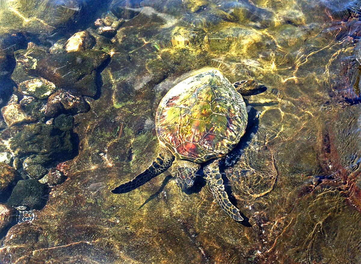 A green sea turtle (called honu in Hawaii) feeding on algae at Kahalu'u Beach Park.