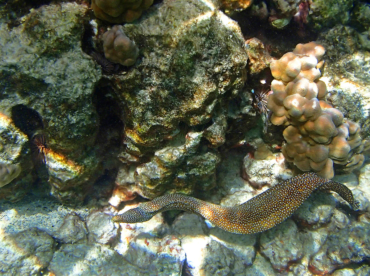 Whitemouth Moray Eels rarely leave their hiding place in daytime but this one is being adventurous!