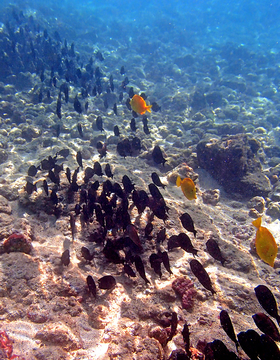 A school of Brown Surgeonfish searching for their next grazing spot.