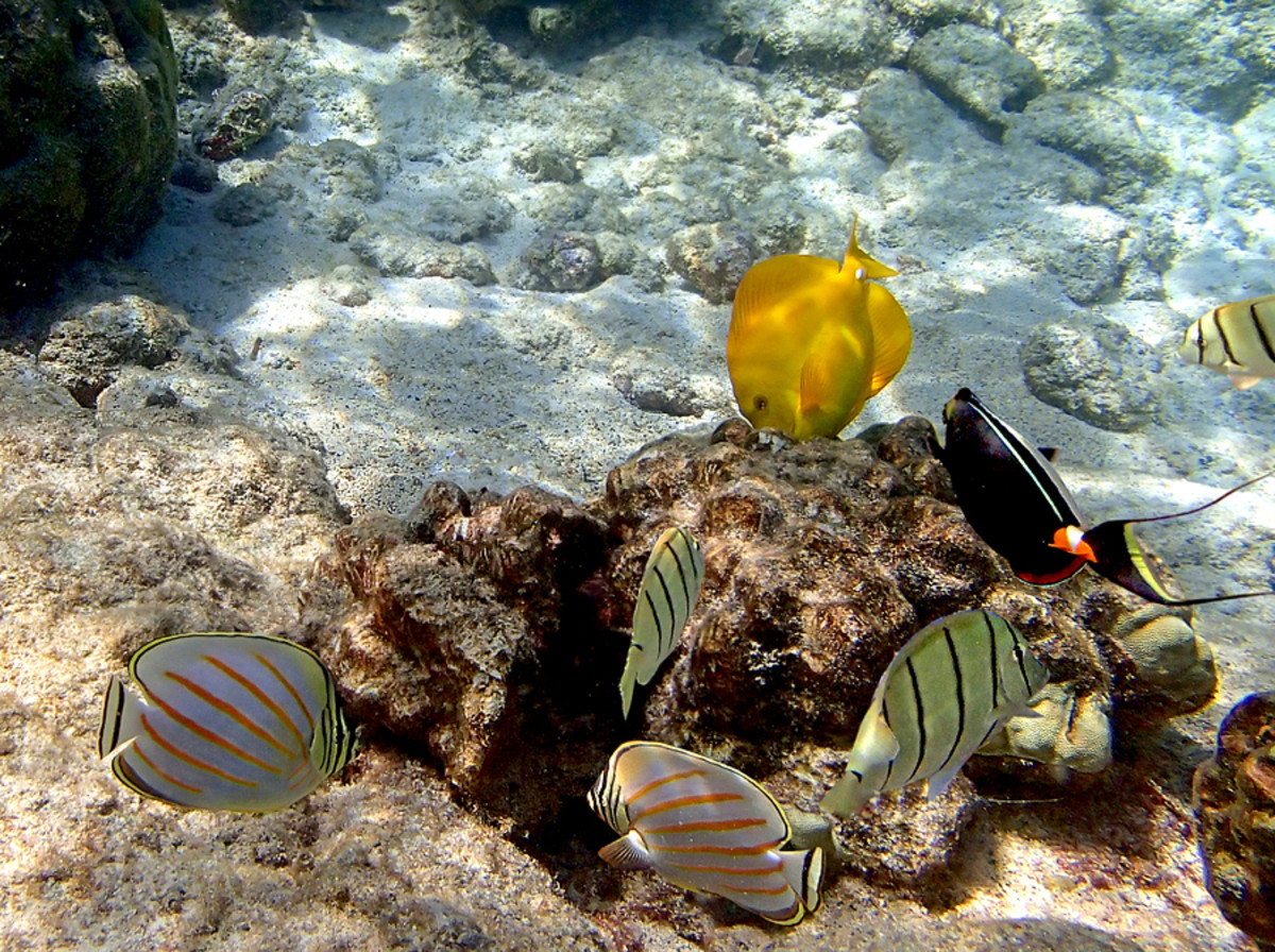 A group of Yellow Tang, Convict Tang (black bands), Achilles Tang (long tail filaments), and Ornate Butterflyfish (orange bands) enjoying each other's company.