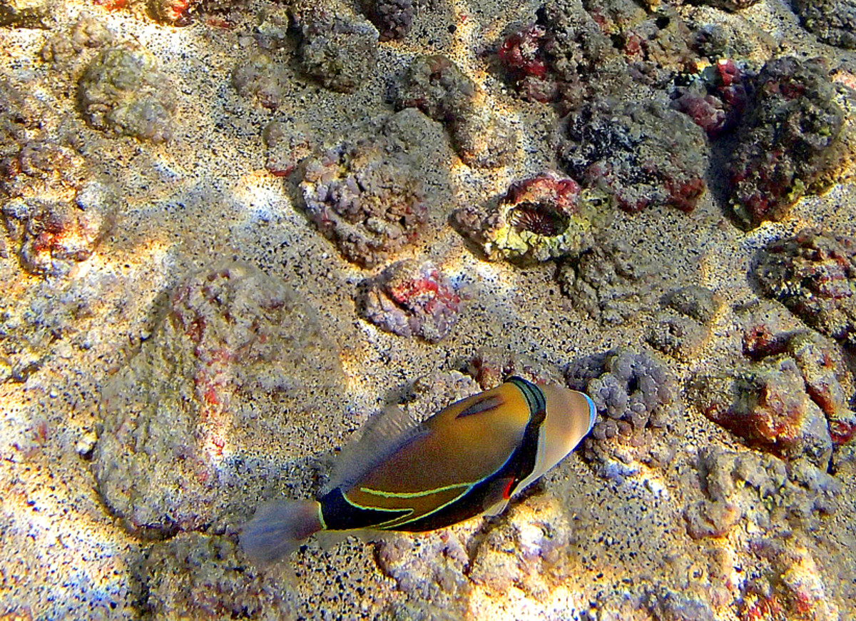 Reef Triggerfish is the official Hawaii State Fish, most commonly seen at Kahalu'u Beach Park.  It has a long Hawaiian name: humuhumunukunukuapua'a.