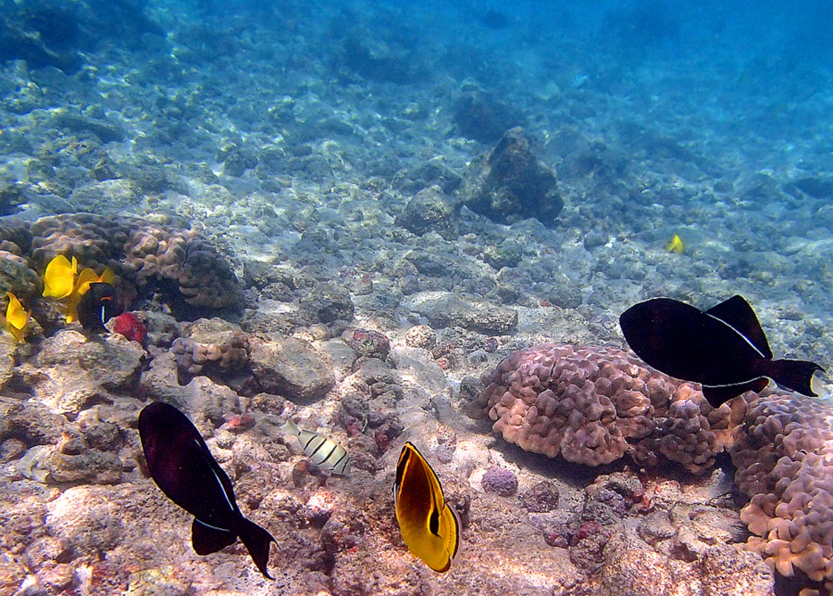 A pair of Black Triggerfish swimming along a Racoon Butterflyfish.