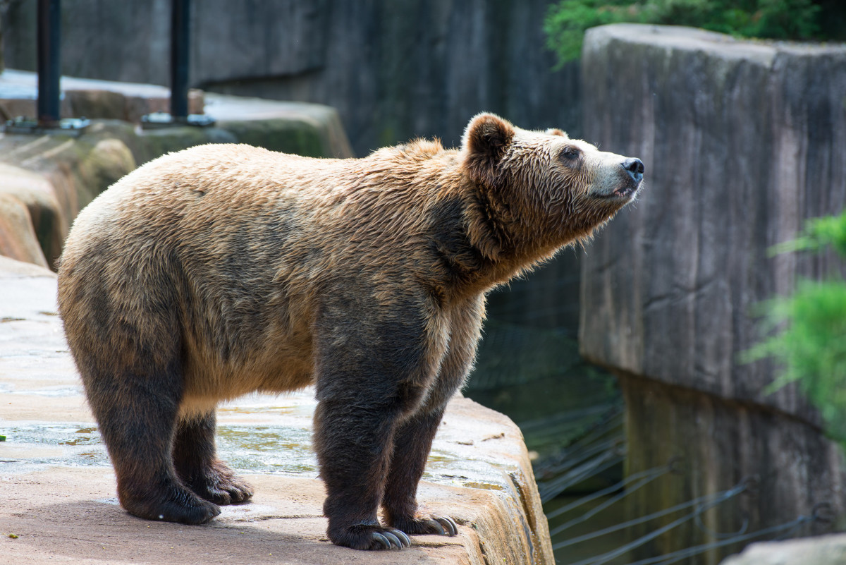 Grizzly Bear at Milwaukee County Zoo in Milwaukee, Wisconsin