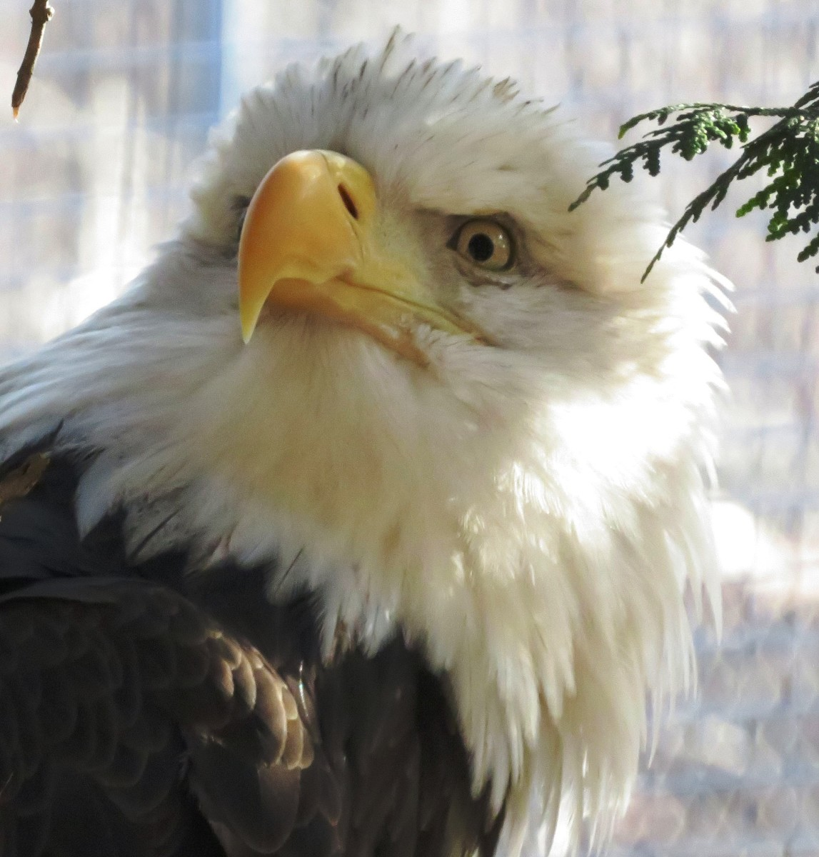 Bald Eagle at the NEW Zoo in Green Bay, Wisconsin