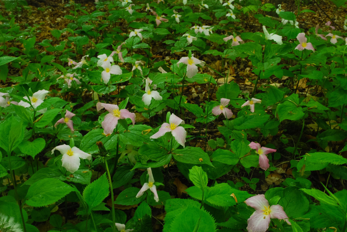 Large flowered Trillium in the Ellison Bluff State Natural Area, Ellison Bay, Wisconsin - Door County