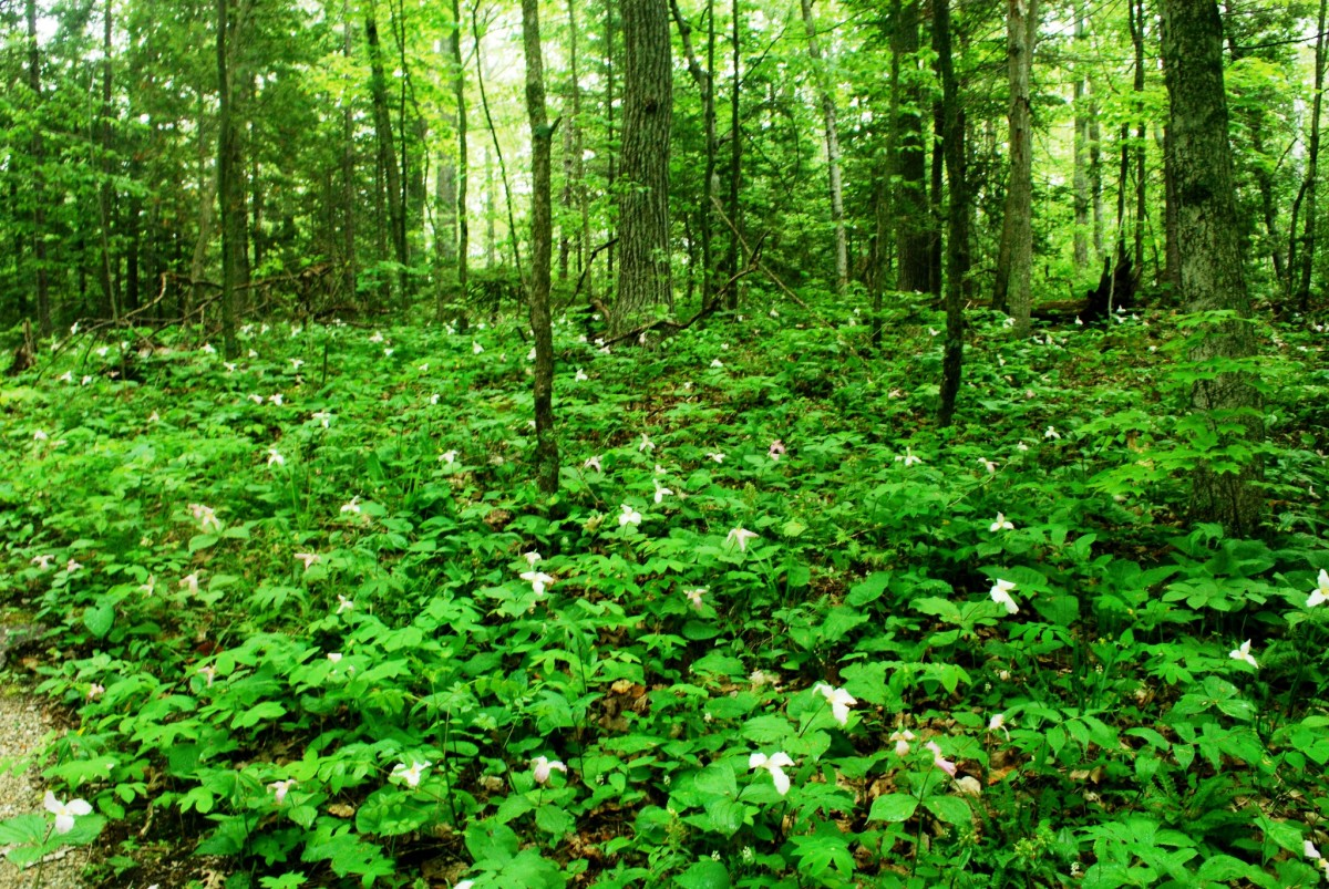 Forest of large flowered Trillium in the Ellison Bluff State Natural Area, Ellison Bay, Wisconsin - Door County