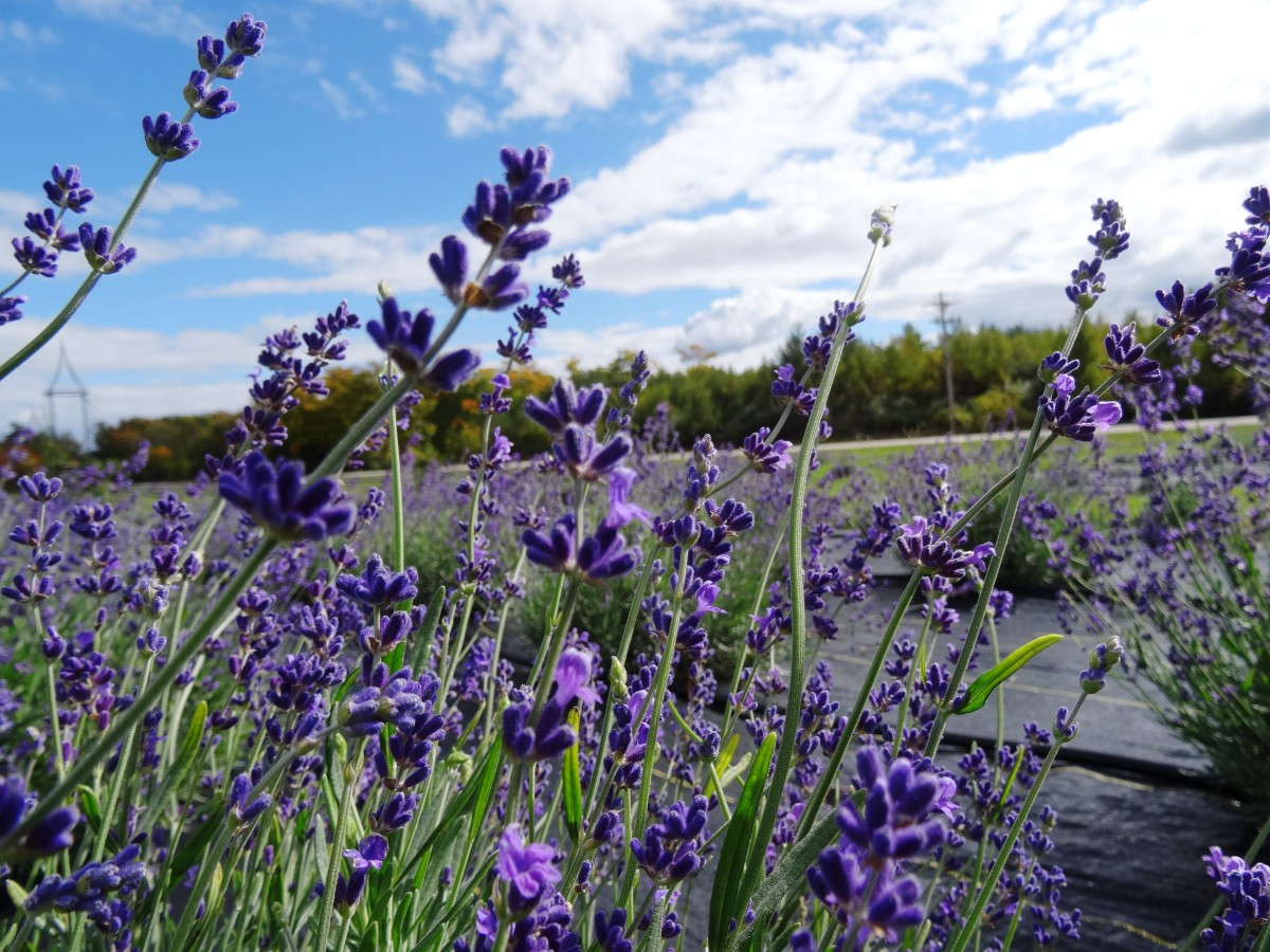 Lavender on Washington Island, Door County, Wisconsin